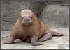 Минус морж, плюс мандрилы
