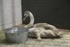 Белого лебедя спасли из ледяной ловушки